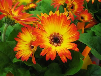 Gerbera Daisy Seeds - BURNING DESIRE - Excellent for Arrangements -50 Seeds