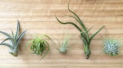 (P6) - 5 Tillandsia air plant sampler pack 6 - indoor outdoor houseplant lot