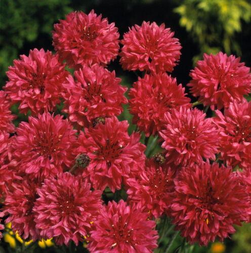 Fleur Graines Centaurea cyanus boule rouge vasylek annuelles de l/'Ukraine