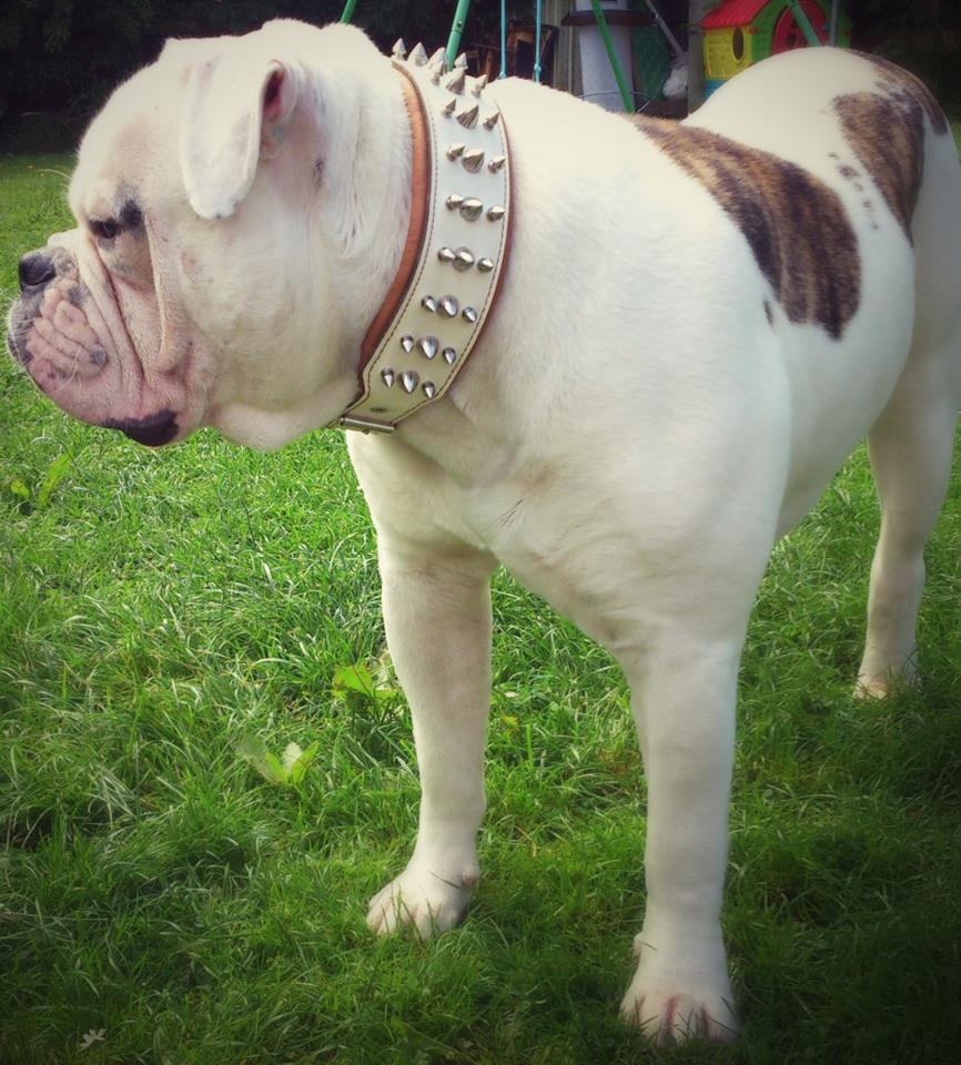 Echtleder Hundehalsband. Handarbeit. 6,5 cm breit. Bulldog, Amstaff. M- XXL