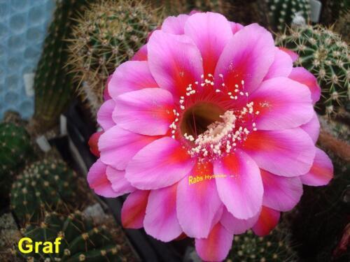 6 cm Echinopsis Hybride Neuheit #439 Graf