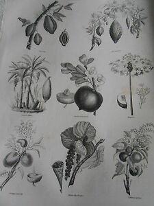 Gravure-1845-Flore-d-039-Amerique