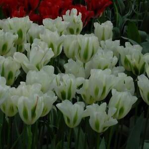 25-X-034-SPRING-GREEN-034-STUNNING-SPRING-FLOWERING-TULIP-BULBS-SIZE-10-11-FREE-P-amp-P