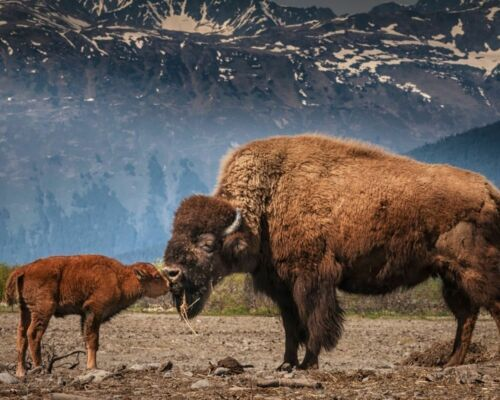 "BUFFALO WITH BABY BISON A4 GLOSS POSTER PRINT LAMINATED 10.4/""x8.3/"""
