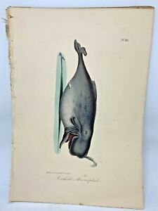 Original-Antique-Lacepede-1832-Hand-Colored-Plate-10-Sperm-Whale