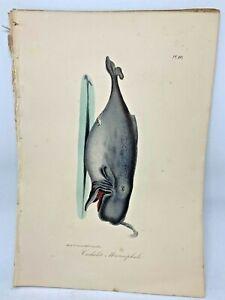 Original-Antique-Lacepede-1832-Hand-Colored-Plate-10-Sperm-Whale