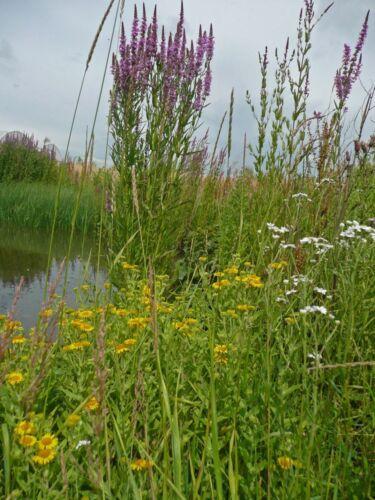 zones humides 20g graines-Gros paquet Fleur Sauvage-Mélange bord d/'étang