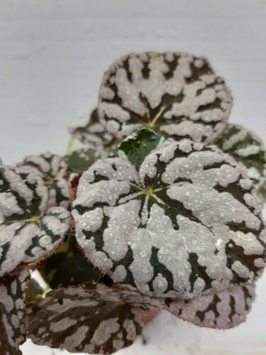Begonia chayo LIVE Tropicale Terrario Terrario casa impianto