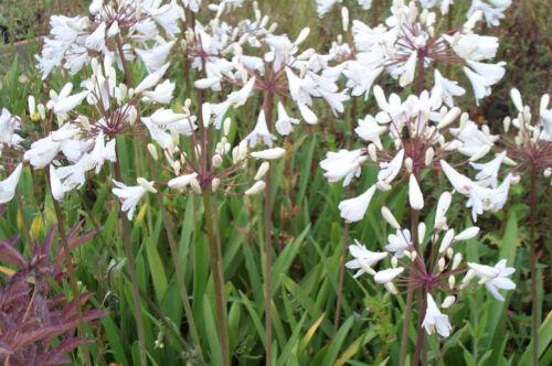 ab 2,58€ Staffelpreise Schmucklilie,weiße Agapanthus