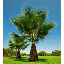 10 Washingtonia filifera semillas, Petticoat palme