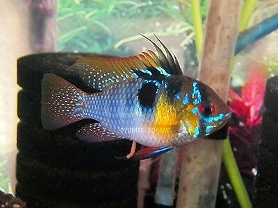 Breeding Pair German Blue Rams/Free Shipping/ Ramirezi/Dwarf Cichlid/Ram Fish