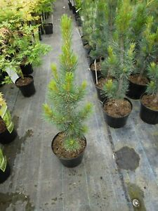 Pinus-parviflora-Glauca-blaue-Maedchenkiefer-70-80cm-Gartenbonsai