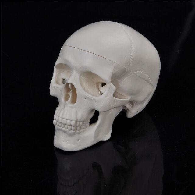 JNKET Mini Skull Model Small Size Detachable 3 Pieces Human Skull Head for Medical Education