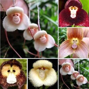 Am-100PCS-Orchid-Seeds-Beautiful-Plant-Flower-Rare-Monkey-Face-Charm-Garden-Dec