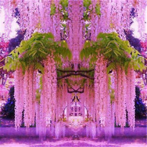 30pcs purple wisteria flower seeds perennial climbing plants bonsai image is loading 30pcs purple wisteria flower seeds perennial climbing plants mightylinksfo