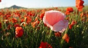 21000-GRAINES-de-Coquelicot-Varie-Fleur-Sauvage-Rouge-Rose-Blanche-Pavot
