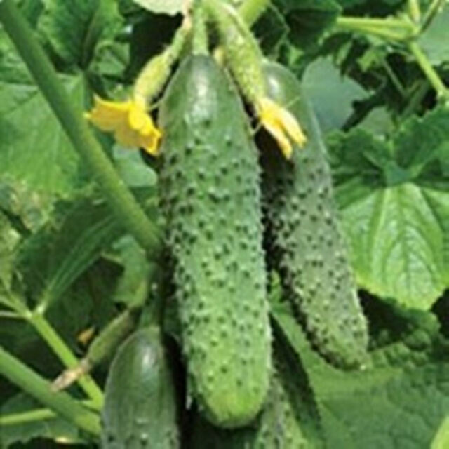 20pcs Cucumber Seeds Organic Russian Pickling Plant Vegetable Fruit Home Garden