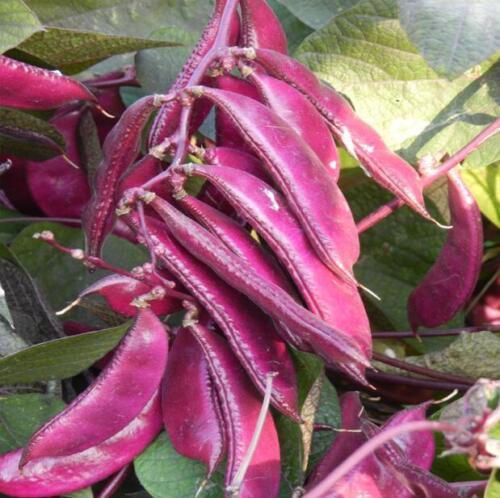 10 pcs Lablab purpureus with Chinese characteristics vegetable seeds