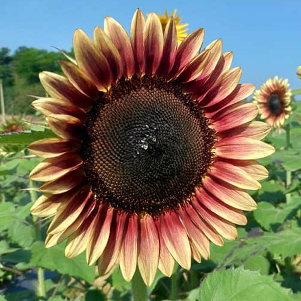 **Pro Cut Plum sunflower seeds** 10 per pack USA grown and shipped