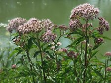 Valeriana officinalis Echter Baldrian Bienenweide 200 Samen