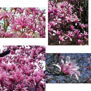 Ann Star Magnolia Tree Live Plant Outdoors Bonsai Fragrant Flowers 4