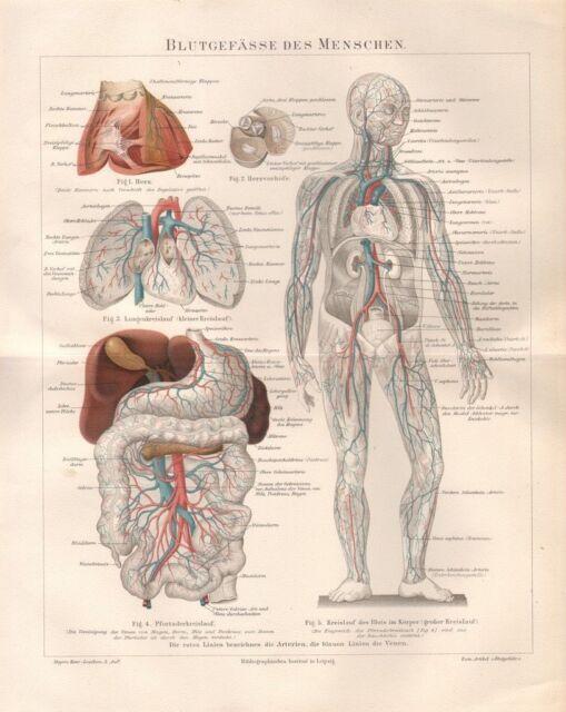 Blutgefäße des Menschen Kreislauf Medizin Herz Anatomie Lithographie ...