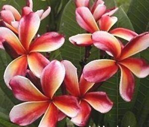 5-Fresh-Seeds-Frangipani-Plumeria-034-Choco-Delight-034