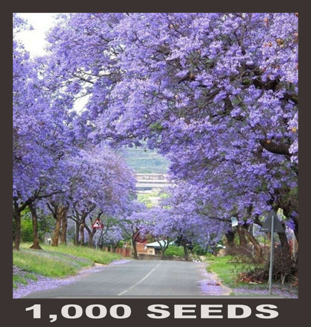1,000 FRESH SEEDS - EMPRESS FOXGLOVE TREE / PRINCESS TREE (Paulownia Tomentosa)