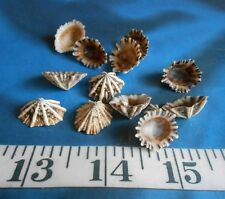 ~ Limpet Shells (10) ~ Siphonaria Seashells ~ Shellcraft ~ Sailor's Valentines ~