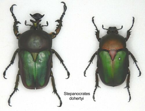 Good A1//A1- Beetle 1 x mounted pair SCARCE Stephanocrates dohertyi