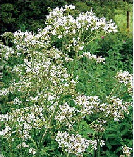 Wild Flower - Valeriana officinalis - Common Valerian - 300 Seeds