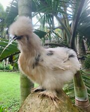 6 Show Quality Blue Amp Black Paint Silkie Hatching Eggs Shipped In Foam