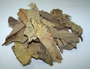 Dried-Guava-Leaf-Litter-A-natural-food-for-all-Freshwater-Shrimps