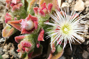 EISBLUME-Exot-Pflanzen-Samen-exotische-Saatgut-Zimmerpflanze-Blume