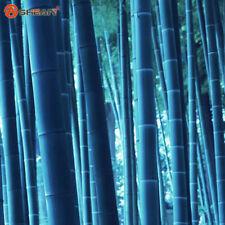 60+ Rare BLUE BAMBOO SEEDS: Beautiful Bonsai Bamboo Bambusa Seed1