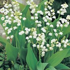 25 GIANT LILY OF THE VALLEY  Convallaria Majalis Bordeaux-Bare Root  Plants/Pips