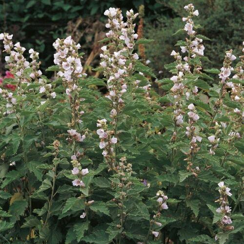 400 Seeds Marsh Mallow Herb Seeds
