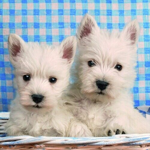 Deux Westie Chiots photographique chien Carte de Vœux-Vierge à l/'intérieur