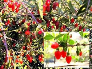 Zierbaum-amp-Nutzpflanze-Winterharte-Goji-Beere-gesund-koestlich-Saatgut-Deko