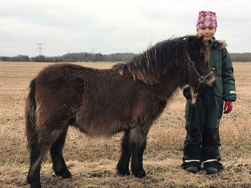 Shetlandspony, vallak, 1 år