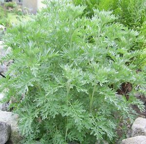 Wormwood-550-seeds-Artemisia-absinthium-Pest-repellent-herb-garden-Non-Gmo