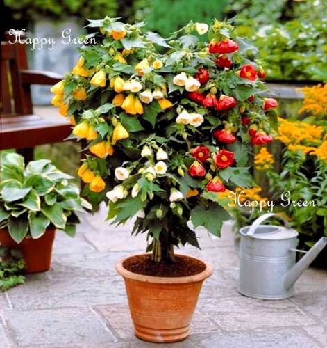 FLOWERING MAPLE Mix 60 graines-Abutilon trouve Bellvue-Pot et Patio usine