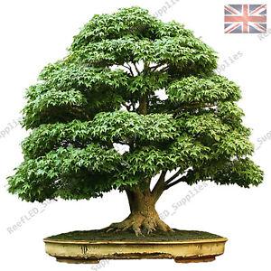 Acer Palmatum Bonsai,Arce Japonés,Pequeño Hoja 10x Fresh Semillas Viables Reino