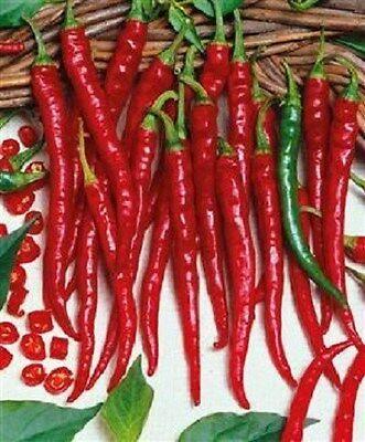 500 Hot Cayenne Long Slim Chili Pepper Seeds PEPPERS NEW