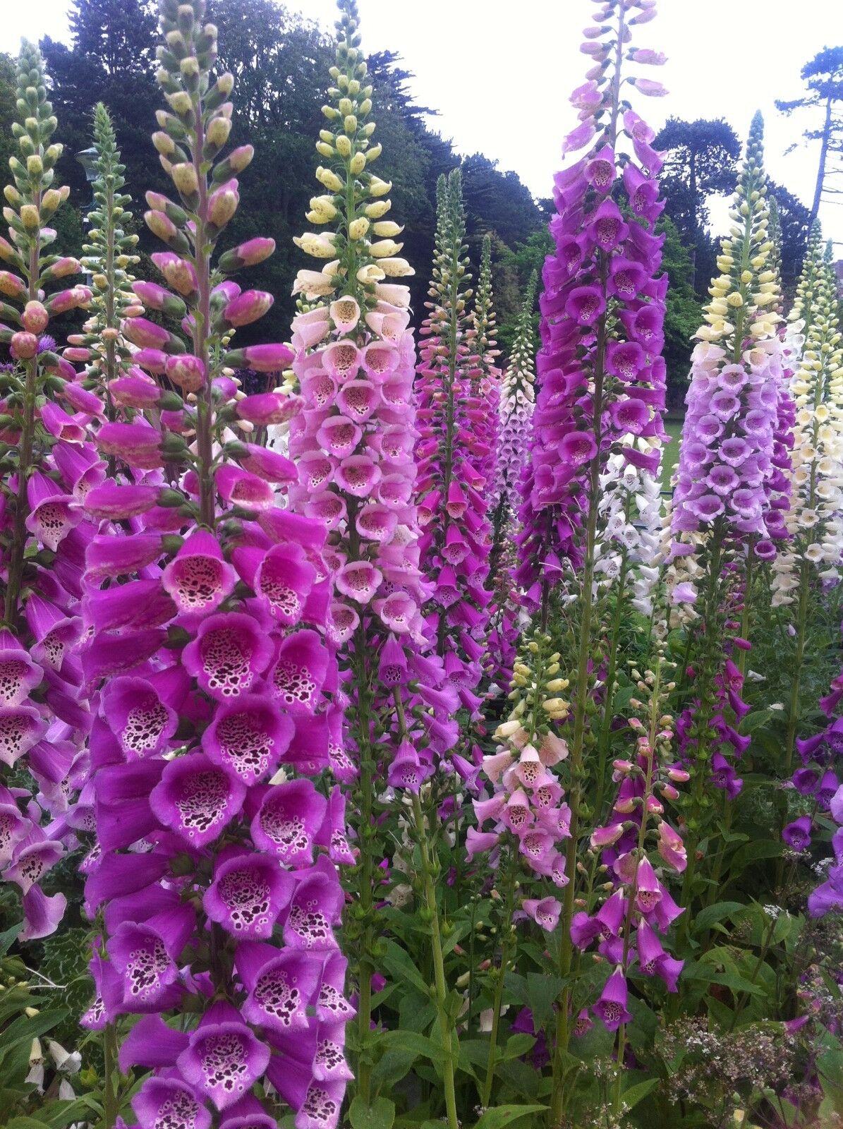 DIGITALIS PURPUREA FOXGLOVE MIXED COLOURS 13,000 SEEDS PERENNIAL FLOWER