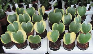 Hoya-Wachsblume-Porzellanblume-kerrii-variegata-Blatt