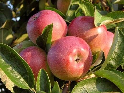 Macintosh apple tree starter plant