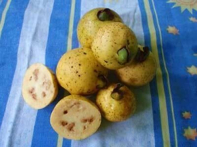 Psidium friedrichsthalium Costa Rican Guava 10 seeds