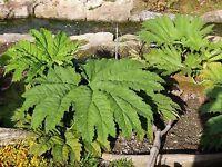 Gunnera Manicata, Winterhartes Mammutblatt Bis 1,8m, 3 Jährige Pflanze