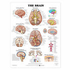 The Brain Anatomical Chart by Anatomical Chart Co. (Fold-out book or chart, 2000)